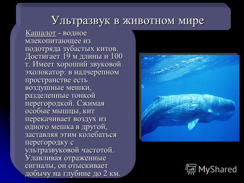 Кашалот - водное млекопитающее из подотряда зубастых китов. Достигает 19 м длины и 100 т. Имеет хороший звуковой эхолокатор: в надчерепном пространстве есть воздушные мешки, разделенные тонкой перегородкой. Сжимая особые мышцы, кит перекачивает возду