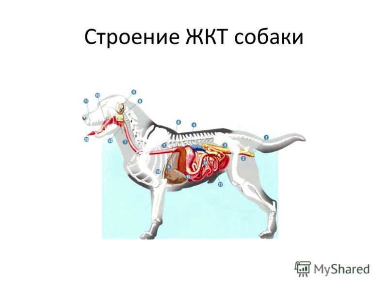 Строение ЖКТ собаки