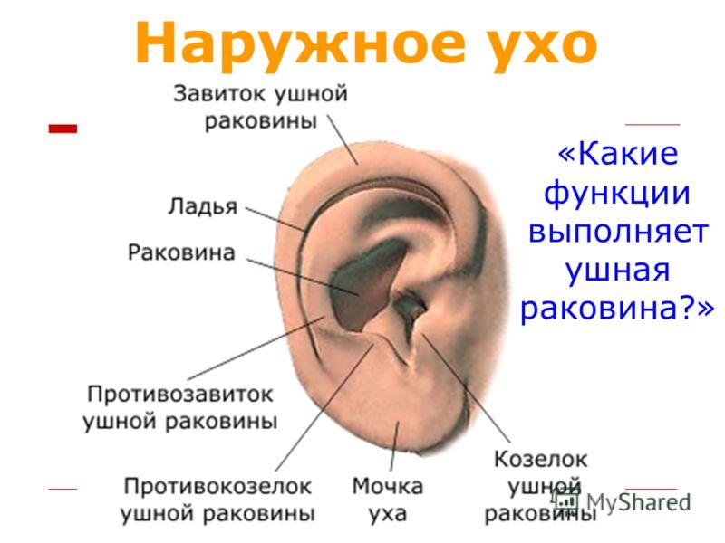 Наружное ухо «Какие функции выполняет ушная раковина?»