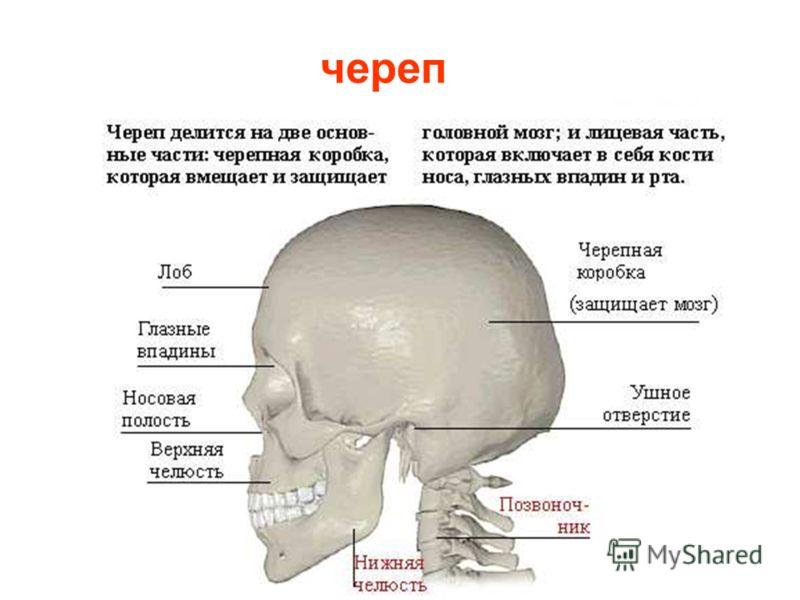 Мы бегаем, шагаем, плаваем и совершаем множество других движений благодаря костно-мышечной системе или опорно- двигательному аппарату. Кости черепа, туловища, рук и ног образуют скелет человека. Скелет принимает на себя всю тяжесть тела, удерживает е