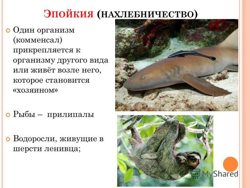 Э ПОЙКИЯ ( НАХЛЕБНИЧЕСТВО ) Один организм (комменсал) прикрепляется к организму другого вида или живёт возле него, которое становится «хозяином» Рыбы – прилипалы Водоросли, живущие в шерсти ленивца;
