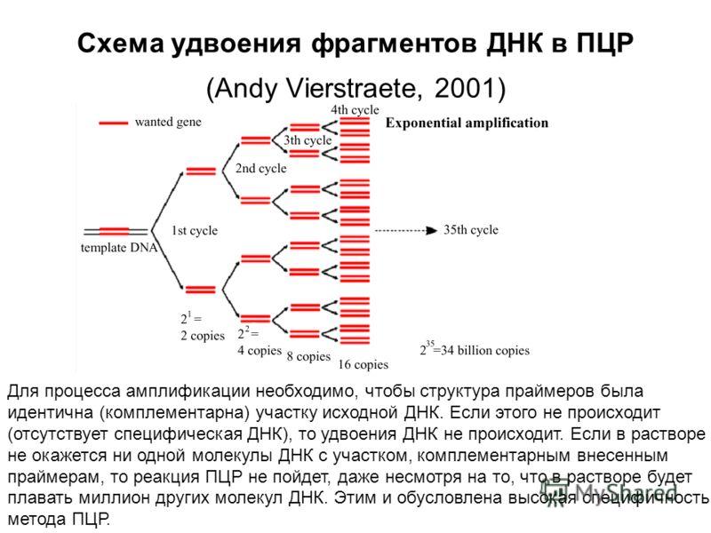 Схема удвоения фрагментов ДНК в ПЦР (Andy Vierstraete, 2001) Схема удвоения фрагментов ДНК в ПЦР Для процесса амплификации необходимо, чтобы структура праймеров была идентична (комплементарна) участку исходной ДНК. Если этого не происходит (отсутству