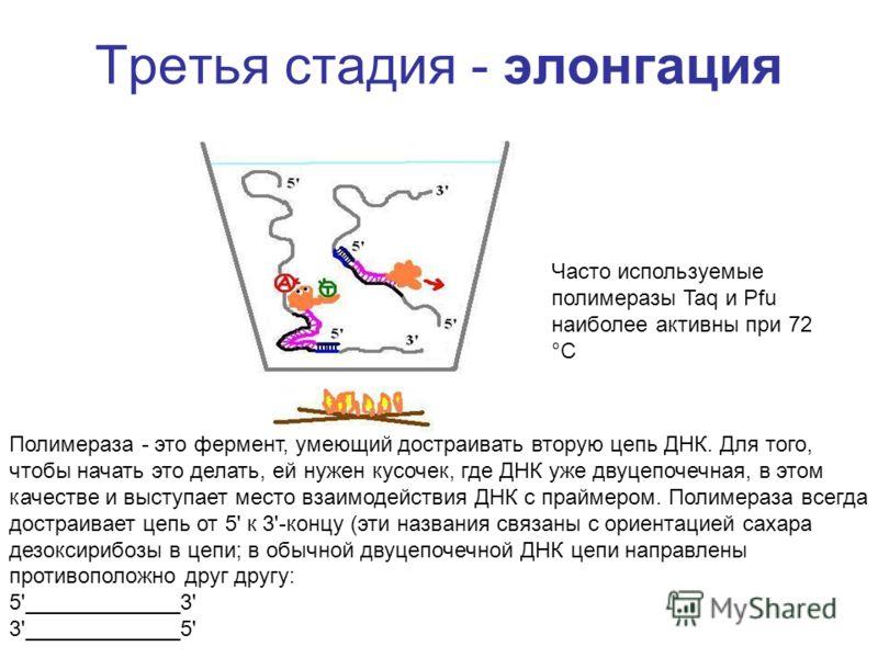 Третья стадия - элонгация Полимераза - это фермент, умеющий достраивать вторую цепь ДНК. Для того, чтобы начать это делать, ей нужен кусочек, где ДНК уже двуцепочечная, в этом качестве и выступает место взаимодействия ДНК с праймером. Полимераза всег