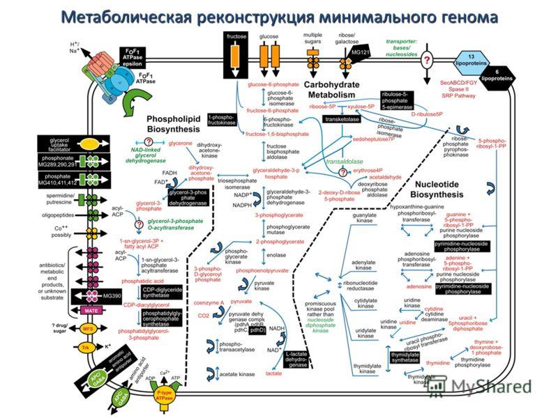 Метаболическая реконструкция минимального генома