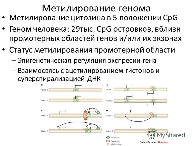 Метилирование генома Метилирование цитозина в 5 положении CpG Геном человека: 29тыс. CpG островков, вблизи промотерных областей генов и/или их экзонах Статус метилирования промотерной области – Эпигенетическая регуляция экспресии гена – Взаимосвясь с