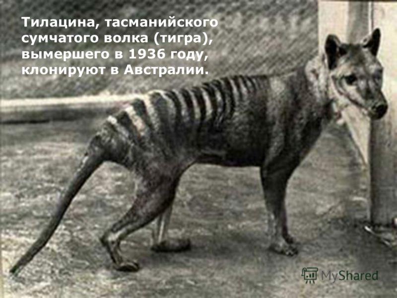 Тилацина, тасманийского сумчатого волка (тигра), вымершего в 1936 году, клонируют в Австралии.