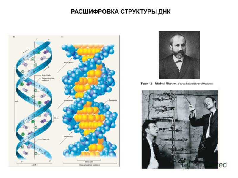 РАСШИФРОВКА СТРУКТУРЫ ДНК