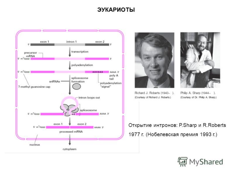 ЭУКАРИОТЫ Открытие интронов: P.Sharp и R.Roberts 1977 г. (Нобелевская премия 1993 г.)