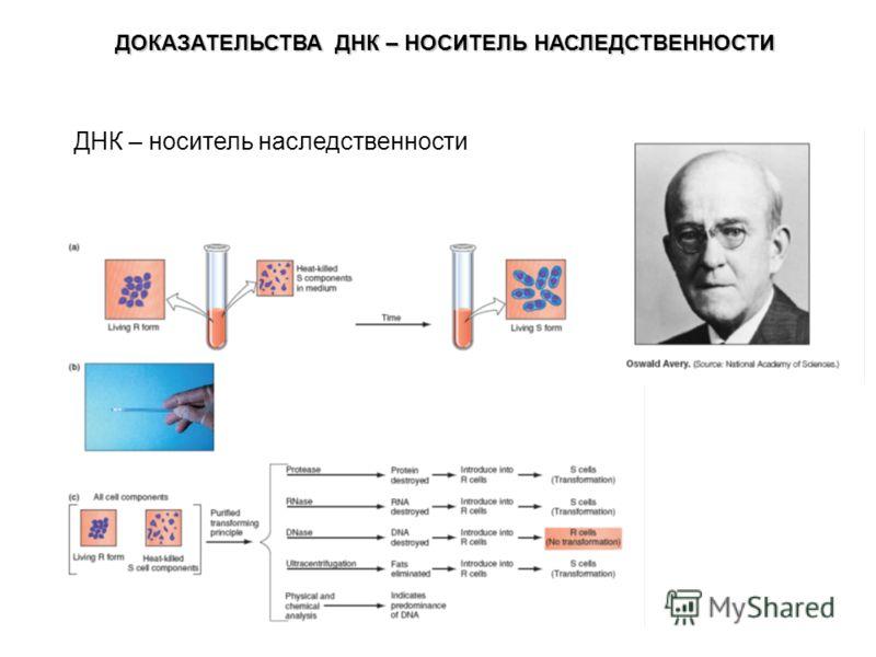 ДНК – носитель наследственности ДОКАЗАТЕЛЬСТВА ДНК – НОСИТЕЛЬ НАСЛЕДСТВЕННОСТИ