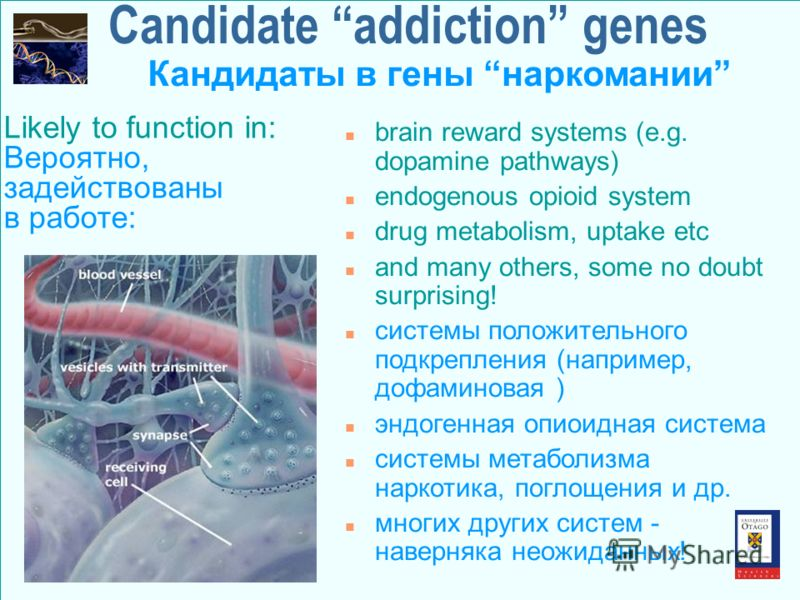Candidate addiction genes n brain reward systems (e.g. dopamine pathways) n endogenous opioid system n drug metabolism, uptake etc n and many others, some no doubt surprising! n системы положительного подкрепления (например, дофаминовая ) n эндогенна