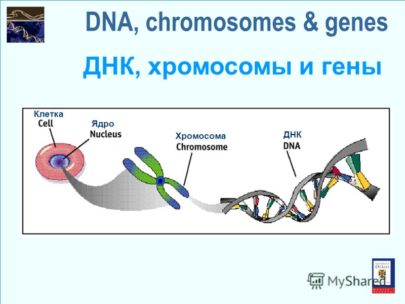 DNA, chromosomes & genes ДНК, хромосомы и гены Клетка Ядро Хромосома ДНК