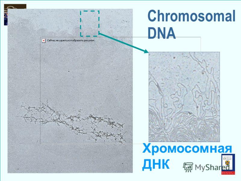 Chromosomal DNA Хромосомная ДНК