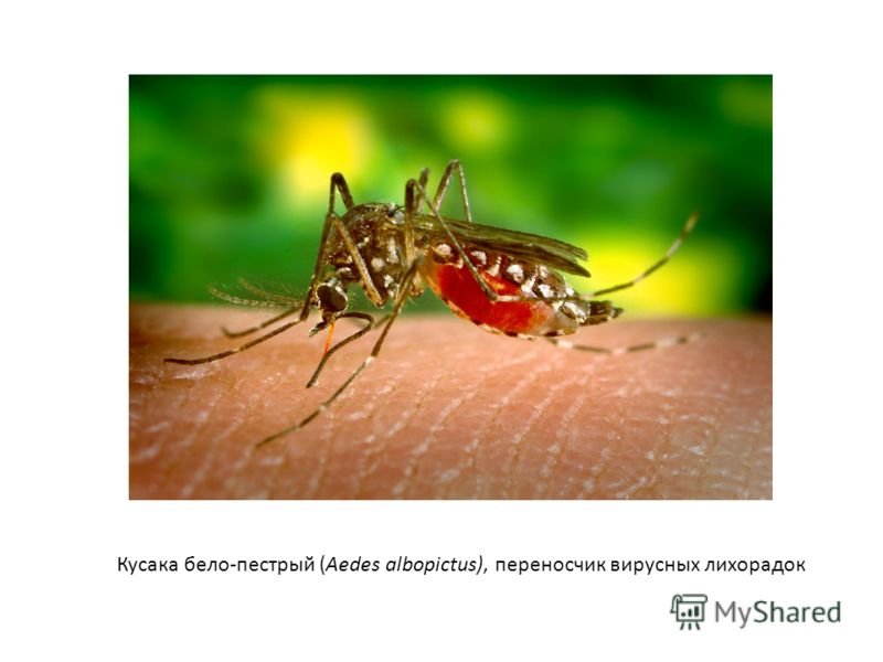 Кусака бело-пестрый (Aedes albopictus), переносчик вирусных лихорадок