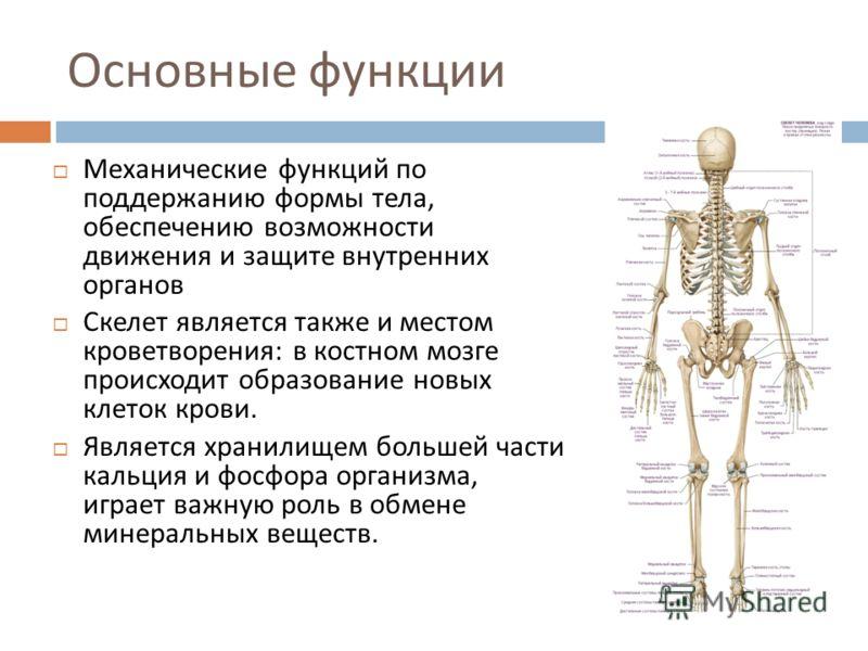 Основные функции Механические функций по поддержанию формы тела, обеспечению возможности движения и защите внутренних органов Скелет является также и местом кроветворения : в костном мозге происходит образование новых клеток крови. Является хранилище