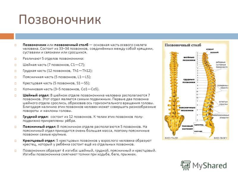 Позвоночник Позвоночник или позвоночный столб основная часть осевого скелета человека. Состоит из 33–34 позвонков, соединённых между собой хрящами, суставами и связками или сросшихся. Различают 5 отделов позвоночника : Шейная часть (7 позвонков, C1C7