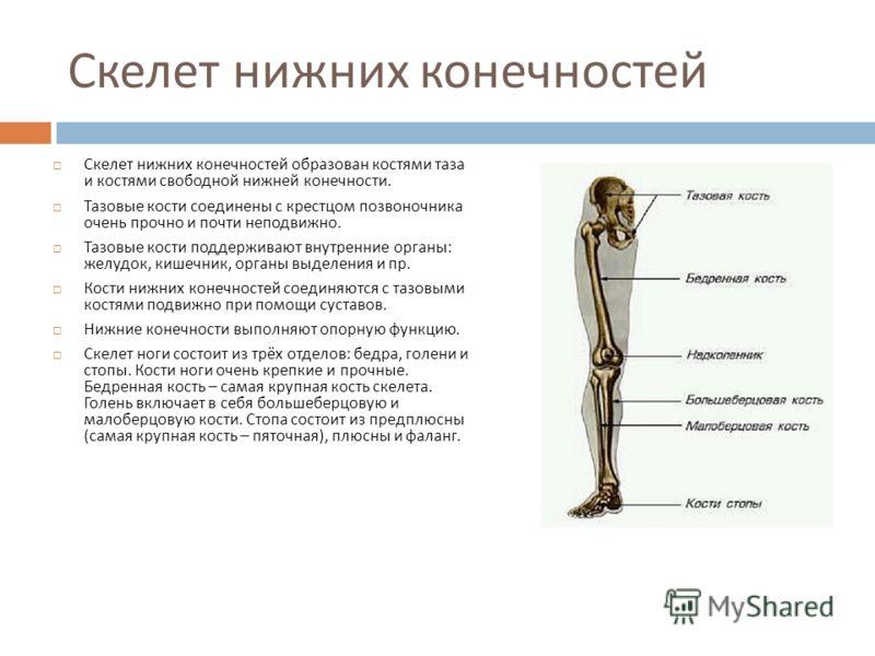 Скелет нижних конечностей Скелет нижних конечностей образован костями таза и костями свободной нижней конечности. Тазовые кости соединены с крестцом позвоночника очень прочно и почти неподвижно. Тазовые кости поддерживают внутренние органы : желудок,