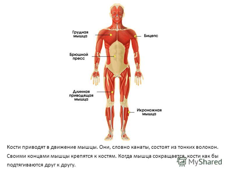 Кости приводят в движение мышцы. Они, словно канаты, состоят из тонких волокон. Своими концами мышцы крепятся к костям. Когда мышца сокращается, кости как бы подтягиваются друг к другу.