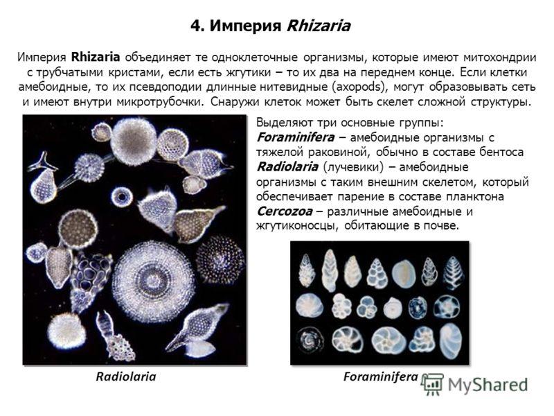 Империя Rhizaria объединяет те одноклеточные организмы, которые имеют митохондрии с трубчатыми кристами, если есть жгутики – то их два на переднем конце. Если клетки амебоидные, то их псевдоподии длинные нитевидные (axopods), могут образовывать сеть
