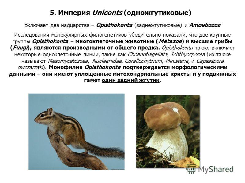 Исследования молекулярных филогенетиков убедительно показали, что две крупные группы Opisthokonta – многоклеточные животные (Metazoa) и высшие грибы (Fungi), являются производными от общего предка. Opisthokonta также включает некоторые одноклеточные