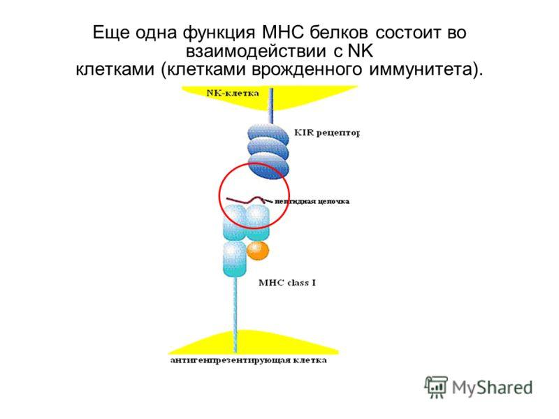 Еще одна функция МНС белков состоит во взаимодействии с NK клетками (клетками врожденного иммунитета).