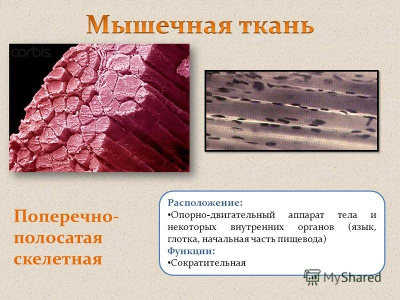 Поперечно- полосатая скелетная Расположение: Опорно-двигательный аппарат тела и некоторых внутренних органов (язык, глотка, начальная часть пищевода) Функции: Сократительная