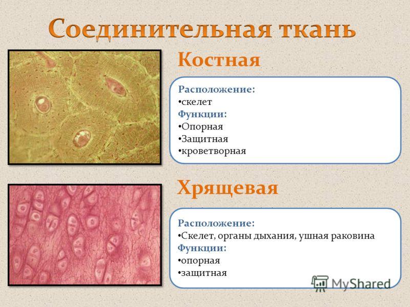 Костная Хрящевая Расположение: скелет Функции: Опорная Защитная кроветворная Расположение: Скелет, органы дыхания, ушная раковина Функции: опорная защитная