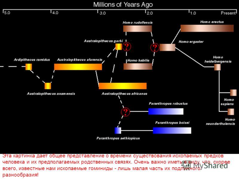 Эта картинка дает общее представление о времени существования ископаемых предков человека и их предполагаемых родственных связях. Очень важно иметь в виду, что, скорее всего, известные нам ископаемые гоминиды - лишь малая часть их подлинного разнообр
