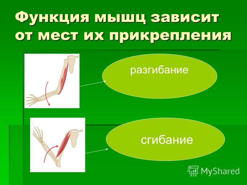 Функция мышц зависит от мест их прикрепления сгибание разгибание