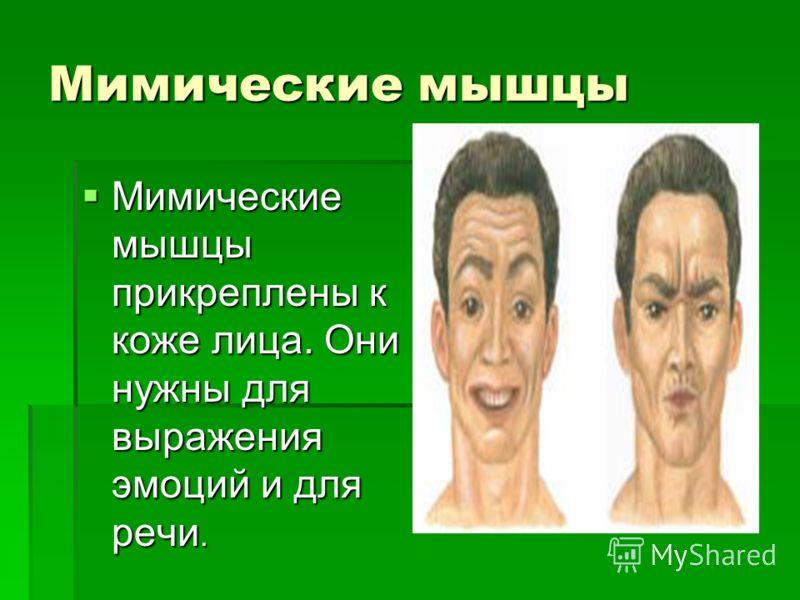 Мимические мышцы Мимические мышцы прикреплены к коже лица. Они нужны для выражения эмоций и для речи.