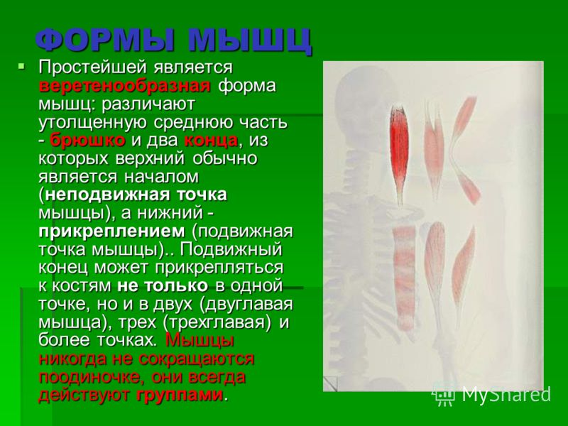 ФОРМЫ МЫШЦ Простейшей является веретенообразная форма мышц: различают утолщенную среднюю часть - брюшко и два конца, из которых верхний обычно является началом (неподвижная точка мышцы), а нижний - прикреплением (подвижная точка мышцы).. Подвижный ко