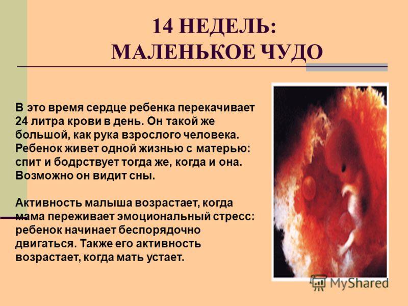 14 НЕДЕЛЬ: МАЛЕНЬКОЕ ЧУДО В это время сердце ребенка перекачивает 24 литра крови в день. Он такой же большой, как рука взрослого человека. Ребенок живет одной жизнью с матерью: спит и бодрствует тогда же, когда и она. Возможно он видит сны. Активност