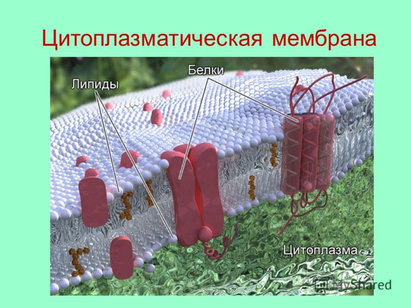 Цитоплазматическая мембрана