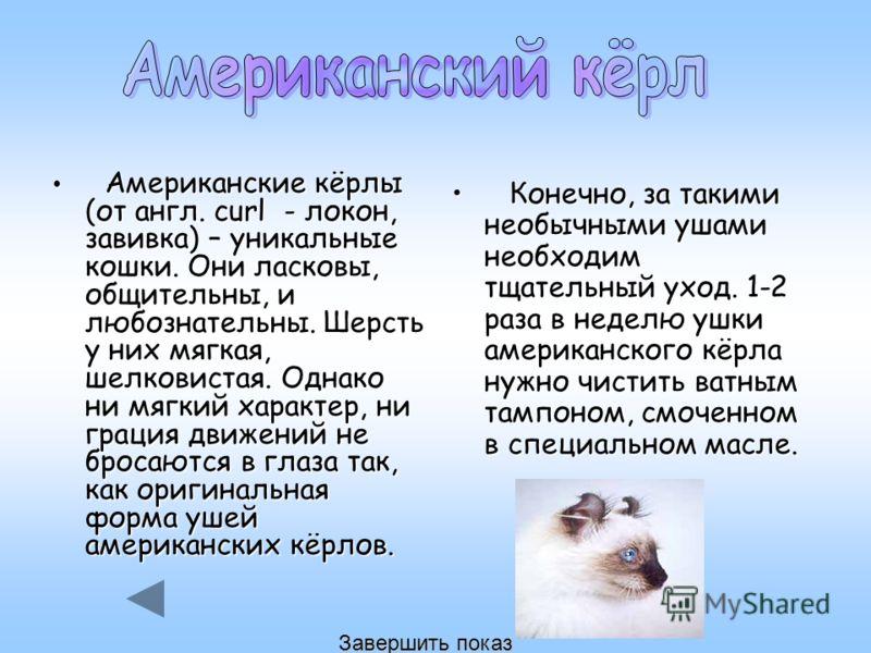 Американские кёрлы (от англ. curl - локон, завивка) – уникальные кошки. Они ласковы, общительны, и любознательны. Шерсть у них мягкая, шелковистая. Однако ни мягкий характер, ни грация движений не бросаются в глаза так, как оригинальная форма ушей ам