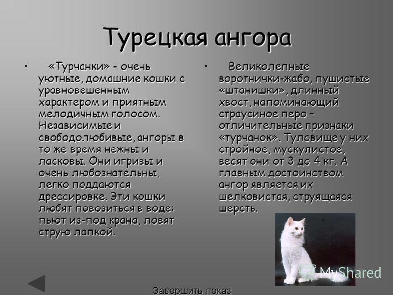 Турецкая ангора «Турчанки» - очень уютные, домашние кошки с уравновешенным характером и приятным мелодичным голосом. Независимые и свободолюбивые, ангоры в то же время нежны и ласковы. Они игривы и очень любознательны, легко поддаются дрессировке. Эт