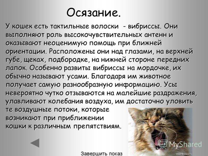 Осязание. У кошек есть тактильные волоски - вибриссы. Они выполняют роль высокочувствительных антенн и оказывают неоценимую помощь при ближней ориентации. Расположены они над глазами, на верхней губе, щеках, подбородке, на нижней стороне передних лап