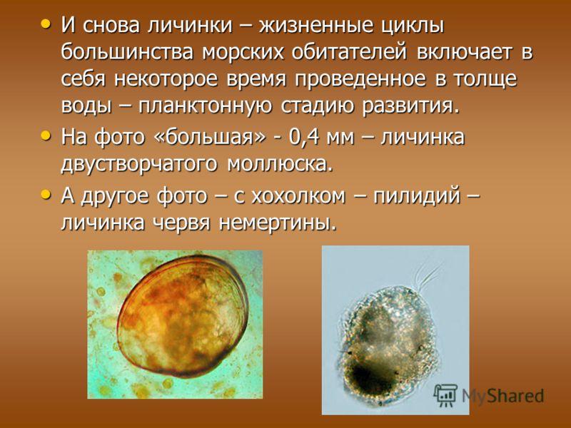 И снова личинки – жизненные циклы большинства морских обитателей включает в себя некоторое время проведенное в толще воды – планктонную стадию развития. И снова личинки – жизненные циклы большинства морских обитателей включает в себя некоторое время