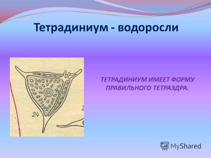 Тетрадиниум - водоросли ТЕТРАДИНИУМ ИМЕЕТ ФОРМУ ПРАВИЛЬНОГО ТЕТРАЭДРА.
