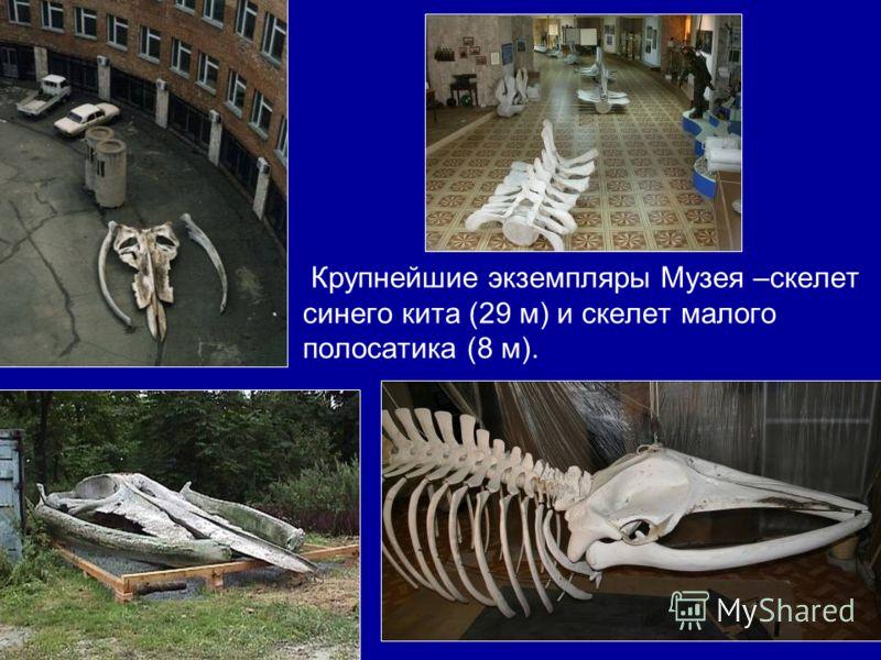 Крупнейшие экземпляры Музея –скелет синего кита (29 м) и скелет малого полосатика (8 м).