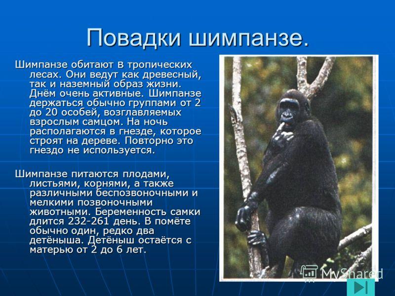 Шимпанзе. Шимпанзе- небольшая человекообразная обезьяна. Длина тела 63-94 см. Вес самцов 56-80 кг. У шимпанзе большие уши, маленький нос, верхняя высокая губа и хорошо развитые надбровные дуги. Тело покрыто чёрной шерстью, почти без подшерстка. Лицо