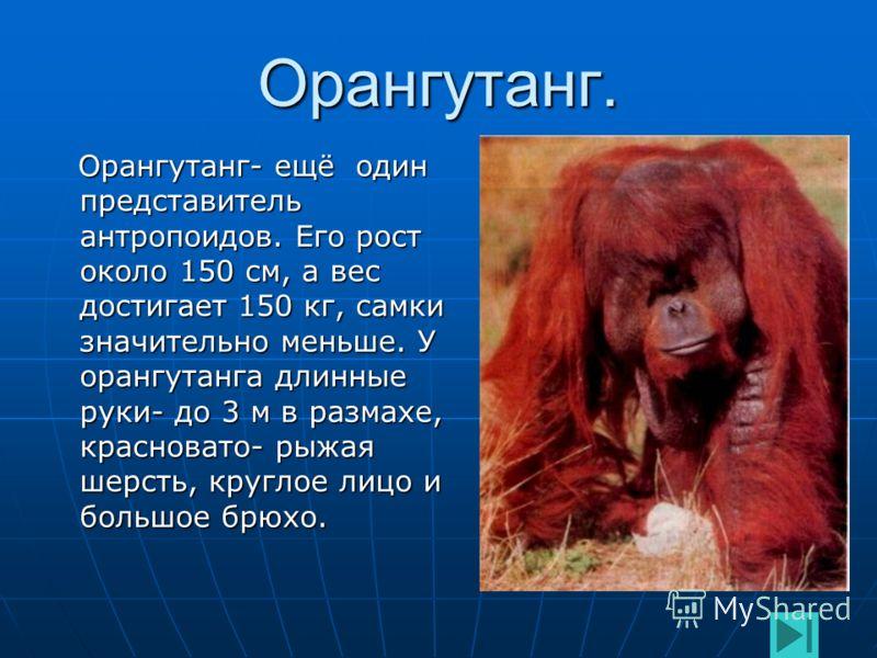 Самец горилл. Самец- вожак горилл выделяется серебристо- серым цветом спины и волосяным гребнем на голове. Ближе к ночи вожак строит гнездо на земле, а все остальные забираются на деревья и строят гнёзда там. Самец- вожак горилл выделяется серебристо