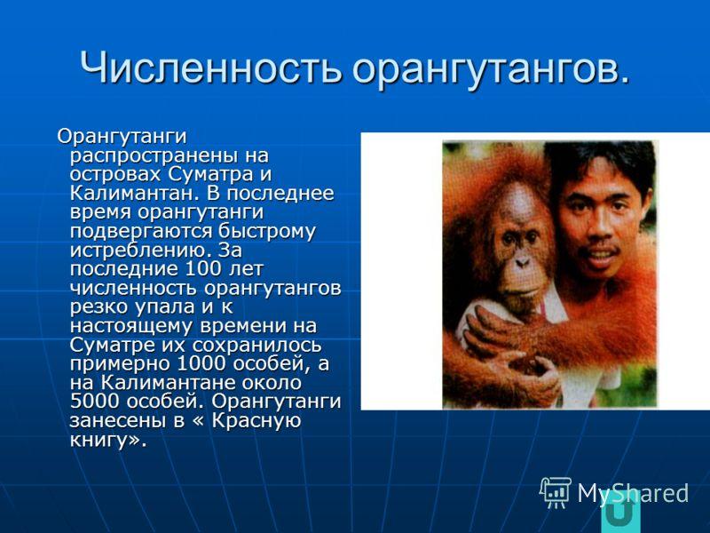 Повадки орангутанга. Орангутанг- обитатель леса. Ведёт древесный образ жизни. Обычно встречается на равнинах, но иногда поднимается в горы на высоту до 1500 м над уровнем моря. Активность дневная. Держится поодиночке, парами или небольшими группами,