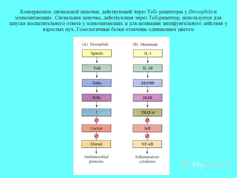 Консерватизм сигнальной цепочки, действующей через Toll- рецепторы у Drosophila и млекопитающих. Сигнальная цепочка, действующая через Toll-рецептор, используется для запуска воспалительного ответа у млекопитающих и для активации антифунгального дейс