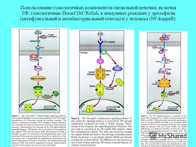 Использование гомологичных компонентов сигнальной цепочки, включая ТФ: гомологичные Dorsal/Dif /Relish, в иммунных реакциях у дрозофилы (антифунгальный и антибактериальный ответы) и у человека (NF-kappaB).