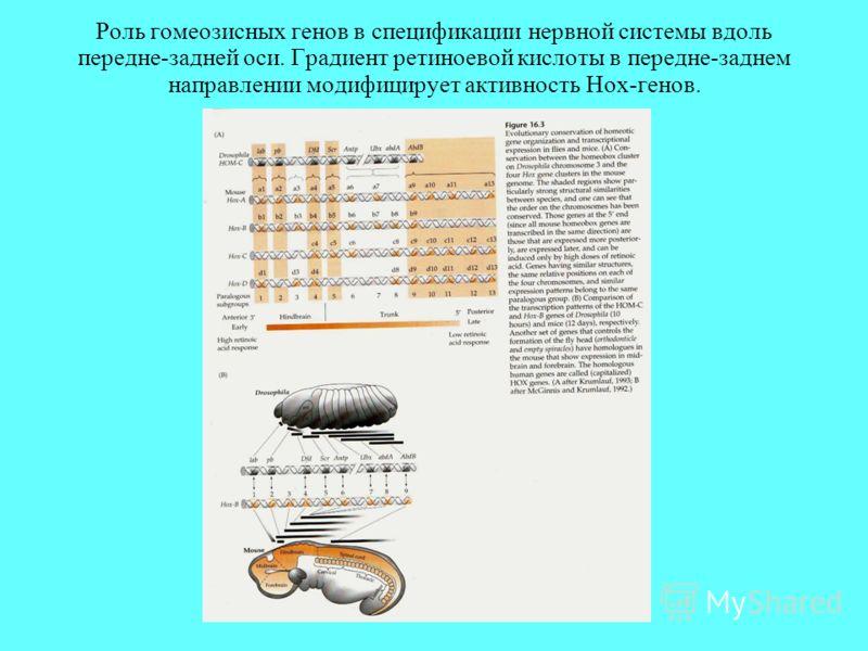 Роль гомеозисных генов в спецификации нервной системы вдоль передне-задней оси. Градиент ретиноевой кислоты в передне-заднем направлении модифицирует активность Hox-генов.