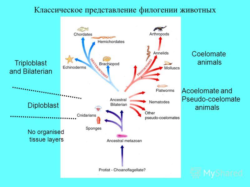 Классическое представление филогении животных Diploblast Triploblast and Bilaterian Coelomate animals Acoelomate and Pseudo-coelomate animals No organised tissue layers