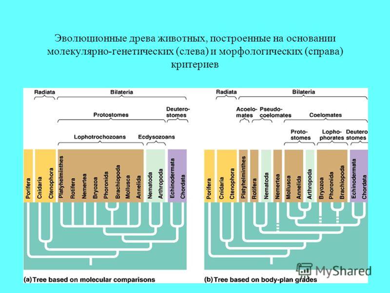 Эволюционные древа животных, построенные на основании молекулярно-генетических (слева) и морфологических (справа) критериев