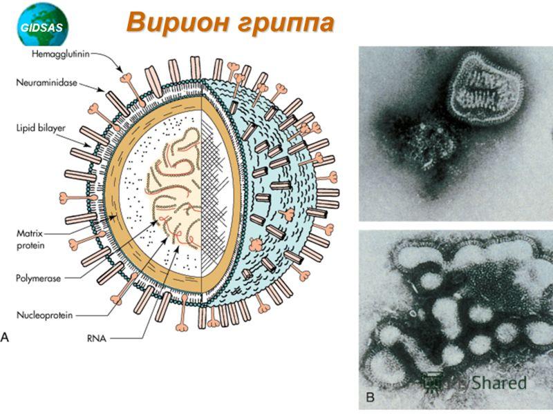 GIDSAS Chotani, 2005 Вирион гриппа
