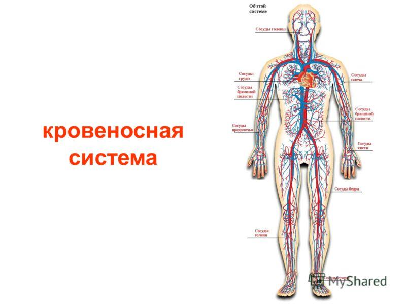 кровеносные сосуды на груди