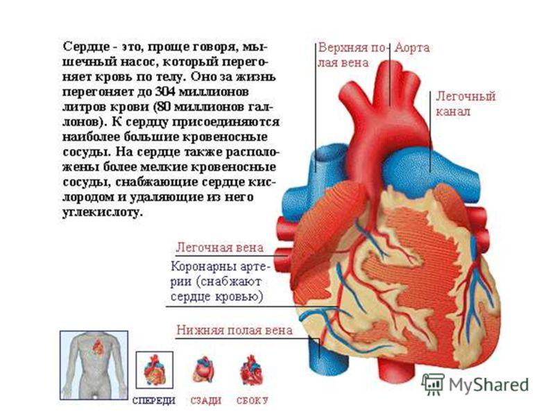 Сердце расположено между лёгкими, на диафрагме – куполообразной мышце, отделяющей грудную полость от брюшной. Сердечная (кардиальная) мышца тела постоянно сокращается, перегоняя кровь по телу. Такой тип мышц никогда не устаёт и находится лишь в сердц