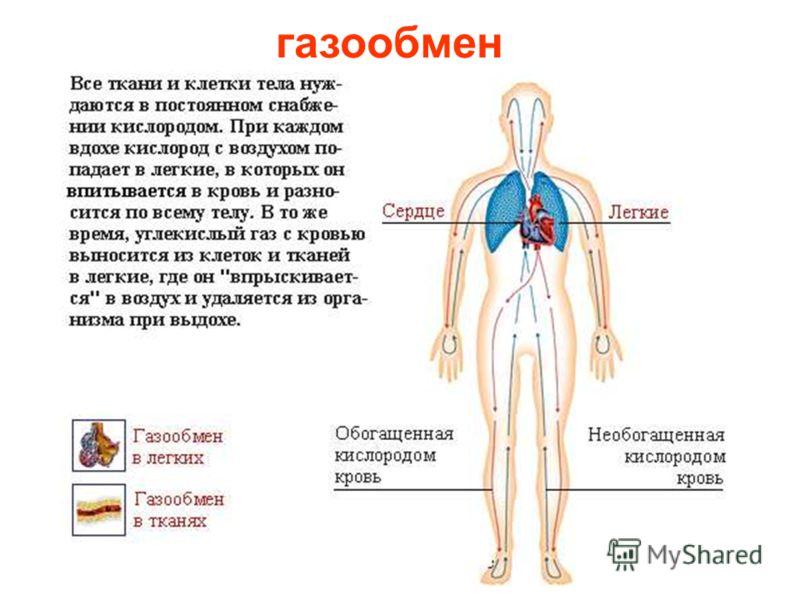 Дыхание – это признак жизни. Если человек не дышит, значит он мертв. Когда мы вдыхаем воздух – он попадает в дыхательные пути. К ним относят нос, гортань, трахею и бронхи. Проходя через эти органы, воздух увлажняется, очищается, нагревается и в конце